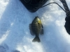 Jason Bluegill