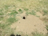Another Prairie Dog Hole