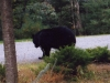 Pennsylvania Black Bear