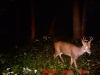 Young River Buck